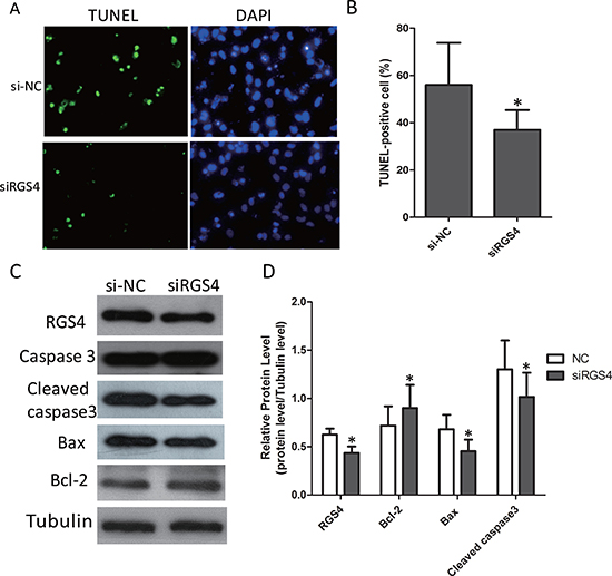 Knockdown of RGS4 significantly suppresses cell apoptosis in melanoma cell lines.
