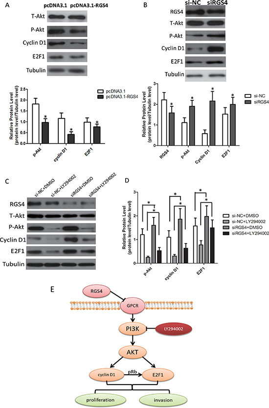 RGS4 regulates E2F1 and Cyclin D1 via PI3K/Akt pathway.