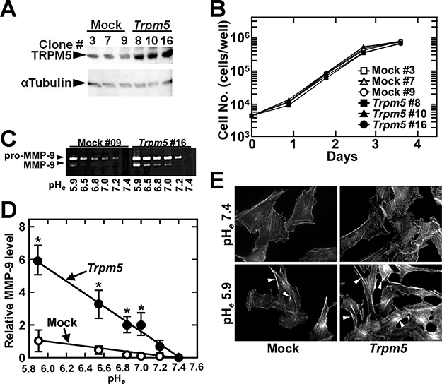 Constitutive expression of Trpm5 mRNA does not affect cell growth but increases the induction of MMP-9 and actin reorganization by acidic pHe.