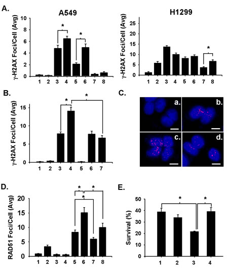 Fig 4: Niraparib enhances the presence of radiation-induced DSBs in A549 and H1299 cells by converting SSBs to DSBs during DNA replication.