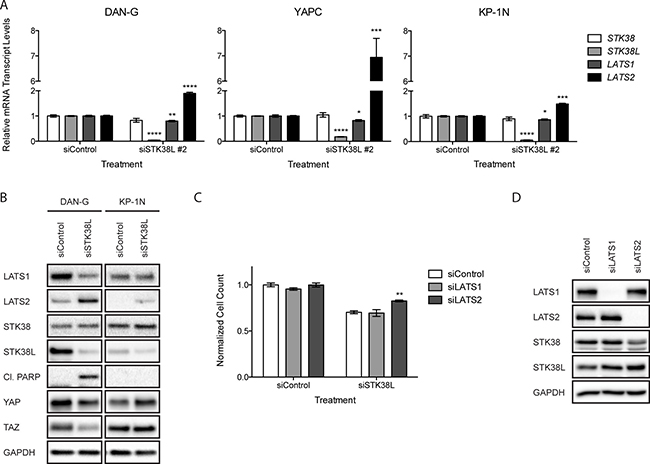 Increased LATS2 expression following STK38L depletion contributes to cytotoxicity.