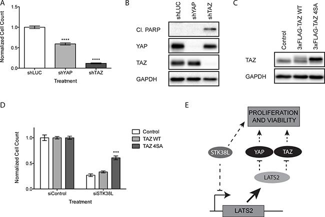 Loss of TAZ induces apoptosis in DAN-G cells.