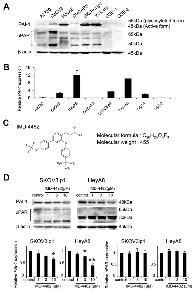IMD-4482 inhibits PAI-1 activation of PAI-1-positive ovarian cancer cells PAI-1 expression in 6 serous ovarian cell lines and 2 different primary cultures of ovarian surface epithelium (OSE) cells was analyzed by western blot (A).