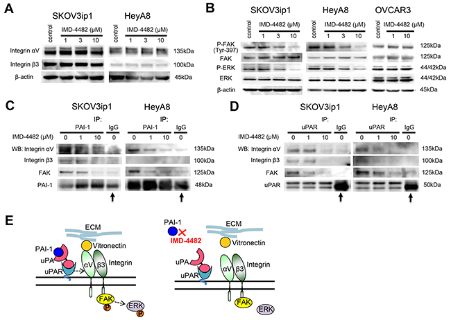 IMD-4482 inhibits the phosphorylation of FAK and ERK followed by the dissociation of PAI-1 and uPAR from αVβ3 integrin and FAK.