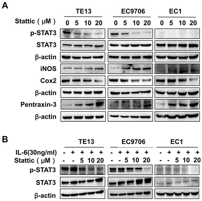 Stattic inhibited STAT3 activation in ESCC cells.