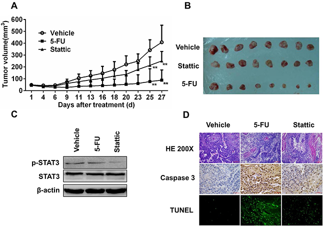 Xenografts from primary tumor EG2, which contained low level of pSTAT3, was relative insensitive to STAT3 inhibition.