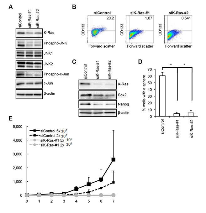 K-Ras is required for the maintenance of the JNK pathway activity as well as for the maintenance of the self-renewal and tumor-initiating capacity of PANC-1 CSLCs.