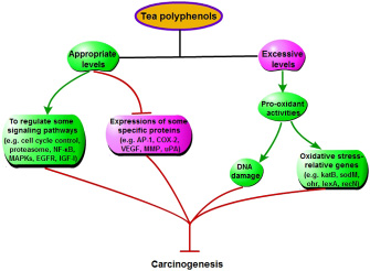 Some special mechanisms that tea polyphenols inhibit cancers, except increasing antioxidant capacity.