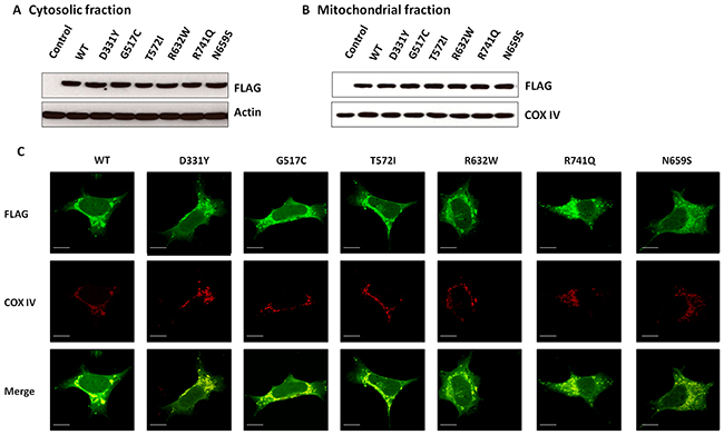 WT PLA2G6 or PARK14 mutant PLA2G6 is expressed in the cytosolic and mitochondrial fractions of SH-SY5Y dopaminergic cells.