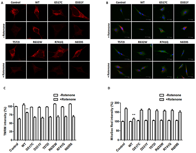 PARK14 mutant PLA2G6 is ineffective in preventing rotenone-induced loss of mitochondrial membrane potential and ROS production.
