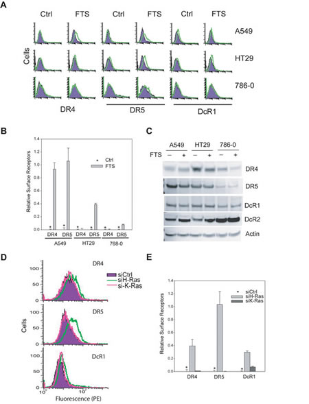H-Ras inhibition upregulates surface expression of DR4 and DR5.