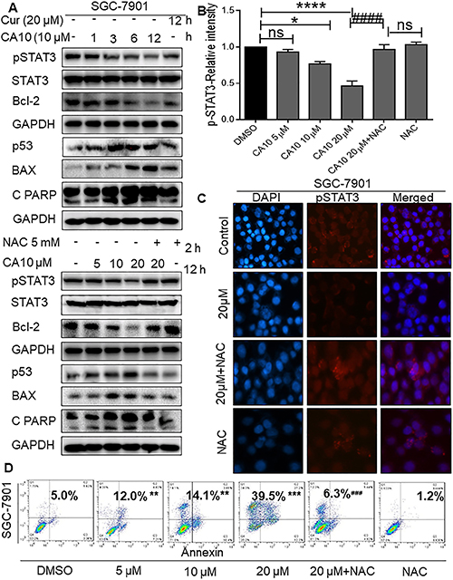 Elevated ROS inhibits p-STAT3 and induces apoptosis in SGC-7901 cells.