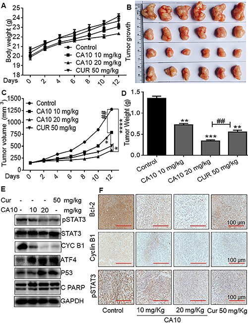 CA10 inhibited SGC-7901 xenograft growth by inhibition on p-STAT3.
