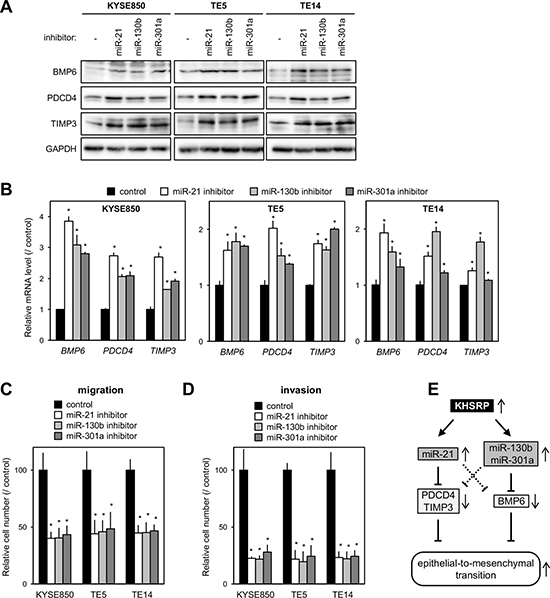 Effects of putative KHSRP target miRNAs on the expression levels of their target mRNAs and ESCC cellular function.