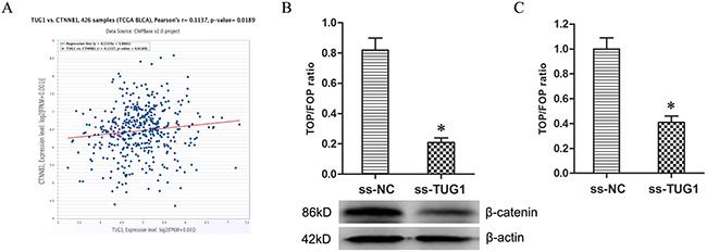 Knockdown of TUG1 restrained Wnt/β-catenin pathway.