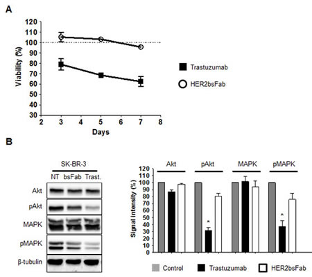 Anti-proliferative effects mediated by trastuzumab and HER2bsFab.