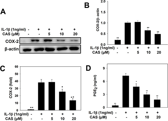 Effects of casticin (CAS) on IL-1β–induced production of COX-2 and PGE2.