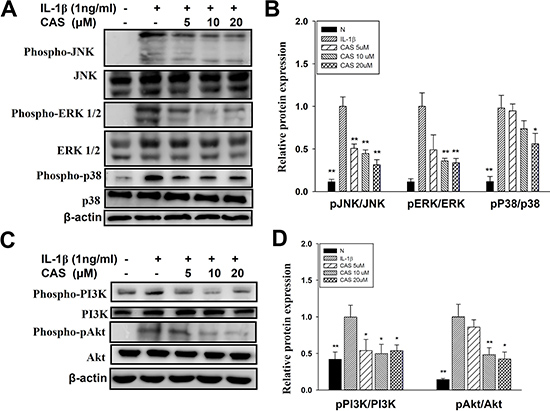 Effect of casticin (CAS) on IL-1β–induced activation of PI3K-Akt, and MAPK signaling in A549 cells.
