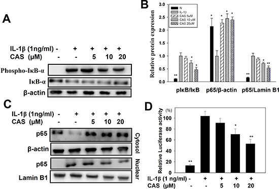 Effect of casticin (CAS) on IL-1β–induced activation of NF-κB signaling in A549 cells.