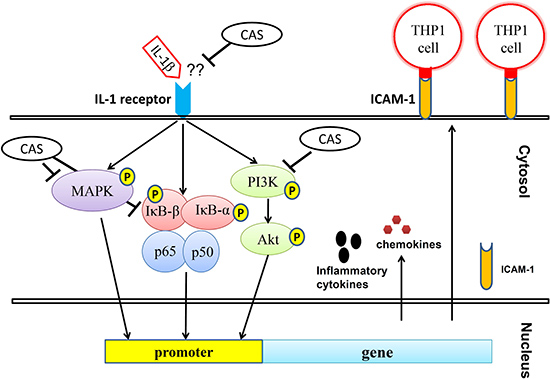 Model explaining the mechanism for the anti-inflammatory effects of casticin (CAS) in IL-1β–induced A549 cells.