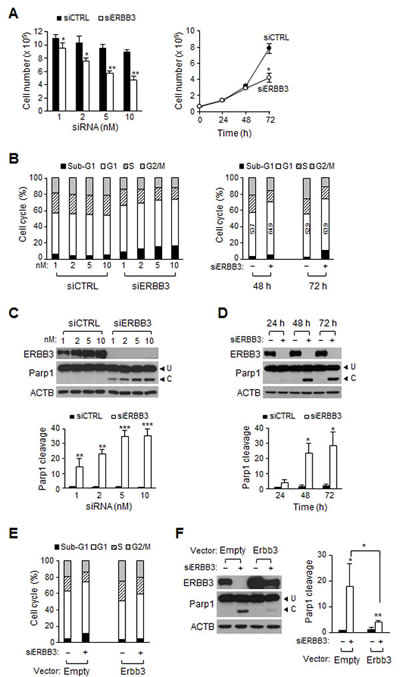 Effect of ERBB3 knockdown on cell proliferation, cell cycle and apoptosis in HCT116 cells.