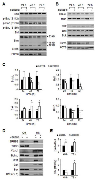 The time course changes in Bcl-2 family proteins levels after ERBB3 knockdown in HCT116 cells.