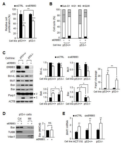 Effect of ERBB3 knockdown on cell proliferation, cell cycles and apoptosis in HCT116-p53