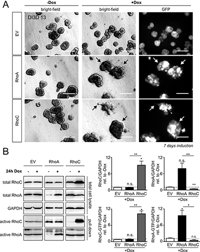 Doxycycline-inducible overexpression of RhoA and RhoC in MCF-10A cells.