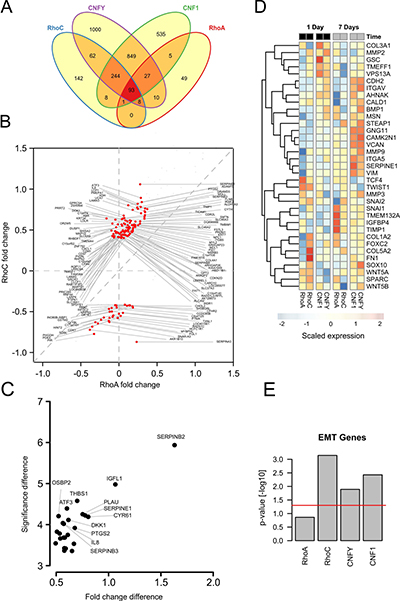Transcriptome analysis shows induction of EMT genes specifically for RhoC overexpression.