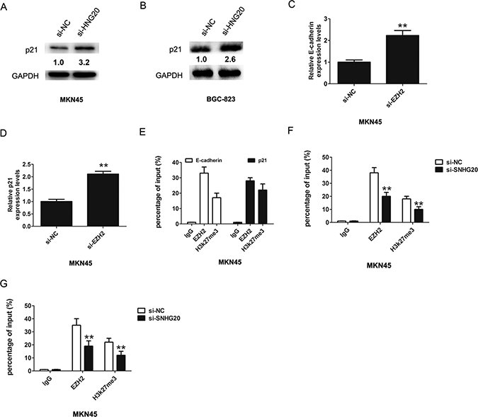 SNHG20 epigenetically silenced E-cadherin and p21 transcription by binding with EZH2.