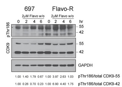 CDK9 kinase activity is upregulated to promote RNA Pol II activity, counter to the drug mechanism of flavopiridol.
