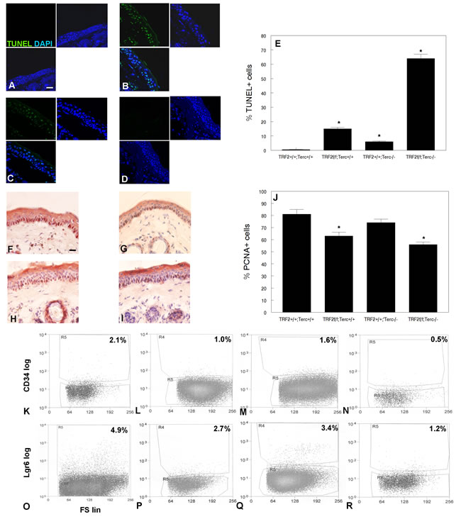 TRF2/Terc double null mutant mice exhibit increased apoptosis, decreased proliferation, and reduction in the CD34+ and Lgr6+ stem cell populations in the epidermis.