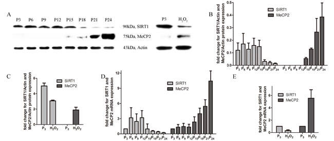 Expression of MeCP2 and SIRT1 with aging.