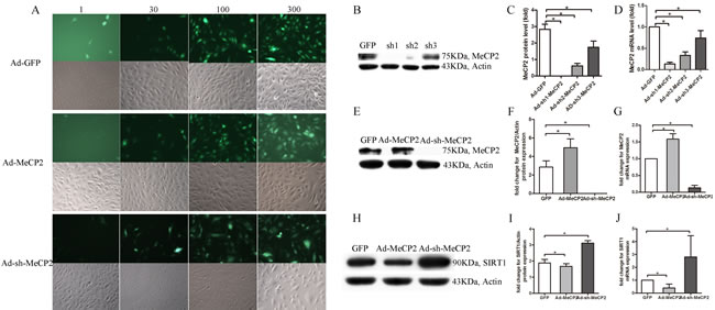 EPCs transfected with Ad-MeCP2 or Ad-sh-MeCP2.
