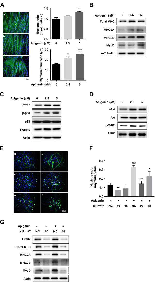 Effect of apigenin on myogenic differentiation.