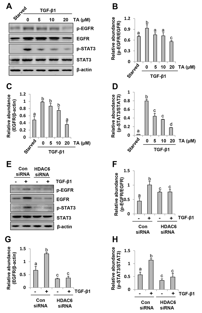 HDAC6 is required for phosphorylation of EGFR and STAT3 in peritoneal mesothelial cells exposed to TGF-β1.