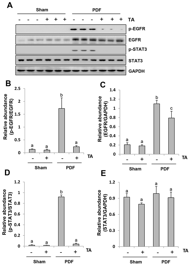 Inhibition of HDAC6 abrogates the activation of EGFR/STAT3 signaling pathway in the peritoneum exposed to high glucose dialysate.
