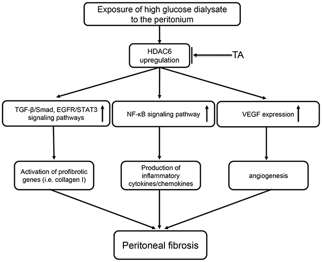 Signaling pathways of HDAC6 inhibition-elicited attenuation of peritoneal fibrosis.