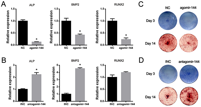 MiR-144-3p suppressed while its inhibitor promoted osteogenic differentiation of rBMSCs.