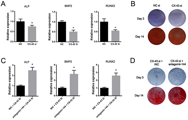 MiR-144-3p inhibitor attenuated the suppression of osteogenesis induced by CX-43 knockdown.