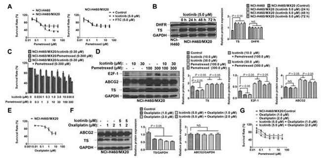 Fig. 4: Icotinib did not sensitize NCI-H460/MX20 cells to pemetrexed.