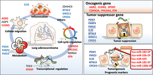 The proposed novel molecular signatures of gene regulations involved in lung adenocarcinoma.