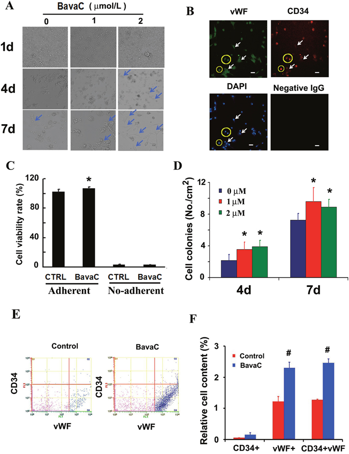 Effect of BavaC on differentiation of rat bone marrow stromal cells.