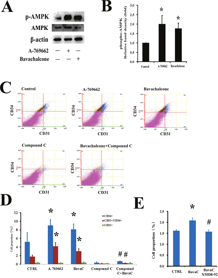 AMPK mediates the biological activity of BavaC in rat bone marrow stromal cells.