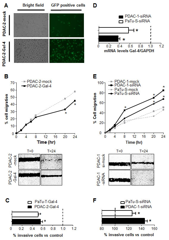 Modulation of Gal-4 expression alters the migratory and invasive behavior of PDAC cells.