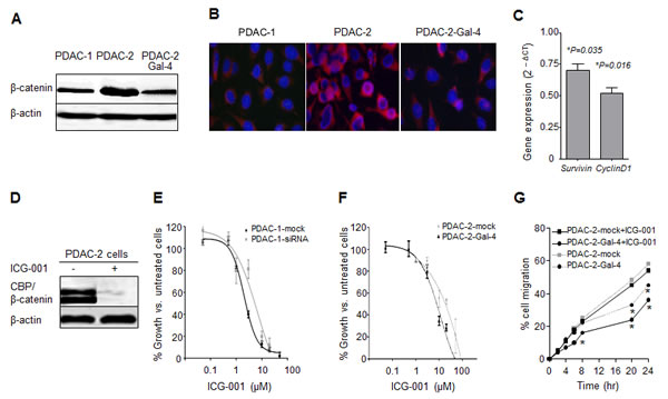 Gal-4 modulates β-catenin levels and sensitizes PDAC cells to the Wnt inhibitor ICG-001.