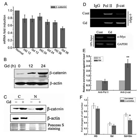 Glucose deprivation-induced c-Myc expression is mediated by β-catenin.