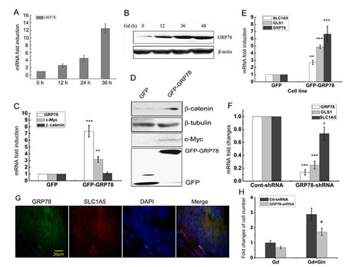 Glucose deprivation-induced GRP78 elevates β-catenin protein level.