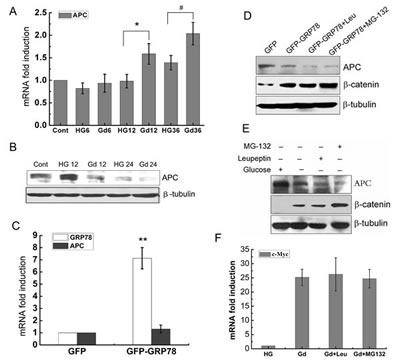 Gd-induced APC downregulation is mediated by GRP78 and is independent of proteasomal and lysosomal systems.