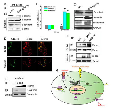GRP78 overexpression interferes with the E-cadherin-β-catenin complex.